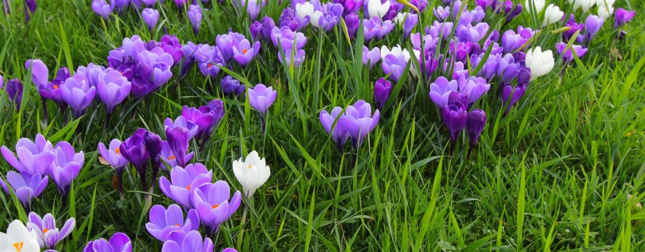 Krokusy – zwiastuny wiosny